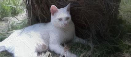 white cat oil